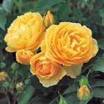 Graham Thomas David Austin® Rose – 1 bare root plant
