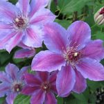 Festival Clematis – 1 pre-started plant