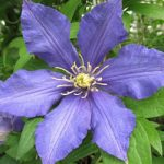 911 Clematis – 1 pre-started plant