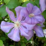 Jackpot Clematis – 1 pre-started plant