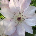 Tracy Lee Clematis – 1 pre-started plant