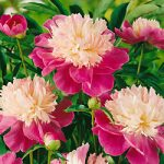 Gay Paree Peony – 1 root division