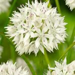 Graceful Allium – 5 bulbs