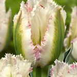 Snow Valley Fringed Tulip – 10 bulbs