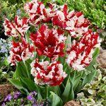Estella Rijnveld Parrot Tulip – 10 bulbs