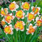 Taurus Split Cup Daffodil – 10 bulbs