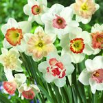 Pink Mix Daffodils – 10 bulbs