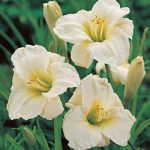 Gentle Shepherd Daylily – 3 root divisions