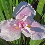 Pink Lady Japanese Iris – 3 root divisions