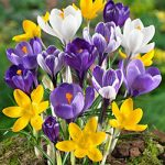 Mixed Large Flowering Crocus – 10 bulbs