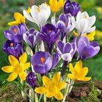Mixed Large Flowering Crocus – 10 bulbs