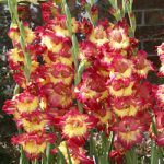 Fun Time Gladiolus – 5 bulbs