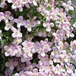 Mayleen Clematis – 1 pre-started plant