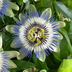 Caerulea Passion Flower Climbing Vine – 1 pre-started plant