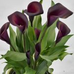 Nightlife™ Callafornia Calla® Calla Lily – 3 tubers
