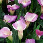 Twilight Callafornia Calla® Calla Lily – 3 tubers
