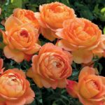 Lady of Shalott David Austin® Rose – 1 bare root plant