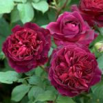 Munstead Wood David Austin® Rose – 1 bare root plant