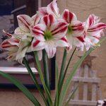 Ambiance Amaryllis – 1 bulb