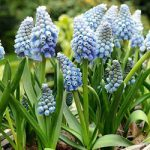 Ocean Magic Muscari – 10 bulbs