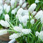 White Magic Muscari – 10 bulbs