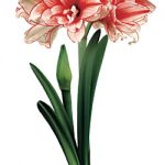 Joker® Mini Amaryllis – 1 bulb