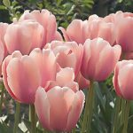 Dordogne Single Late Tulip – 10 bulbs
