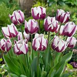 Rems Favorite Triumph Tulip – 10 bulbs