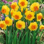 Modern Art Large Cup Daffodil – 10 bulbs