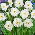 Royal Princess Small Cup Daffodil – 10 bulbs