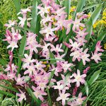 Pink Glory of the Snow – 25 bulbs