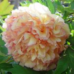SOLD OUT Kinkaku Tree Peony – 1 bare root