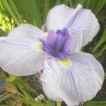 Temple Bells Japanese Iris – 3 root divisions