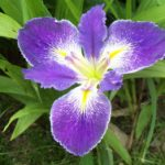 Ces't si Bon Water Iris – 3 root divisions