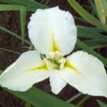 Maria Dolores Water Iris – 3 root divisions