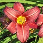 Little Business Daylily – 3 root divisions