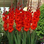 Flora Red Gladiolus – 5 bulbs