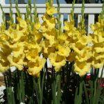 Joyeuse Entrée Gladiolus – 5 bulbs