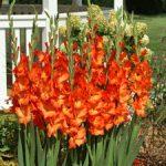 Sun-Kissed Gladiolus – 5 bulbs