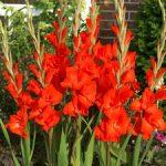 Victor Borge Gladiolus – 5 bulbs