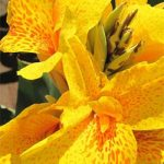 Golden Lucifer Dwarf Canna – 3 root divisions