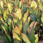 Musifolia Tall Canna – 3 root divisions