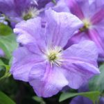 Perle d'Azure Clematis – 1 pre-started plant