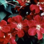 Red Cardinal Clematis – 1 pre-started plant