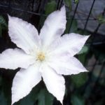 Gillian Blades Clematis – 1 pre-started plant