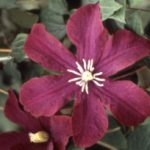 Midnight Showers Clematis – 1 pre-started plant