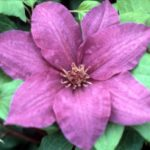 Kirigamine Clematis – 1 pre-started plant