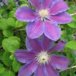 Lola Clematis – 1 pre-started plant