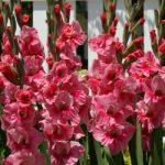 Pink Event Gladiolus – 5 bulbs