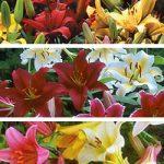 Mixed Lilies – 25 bulbs